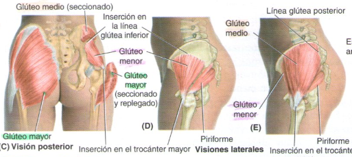gluteo-mayor-y-menor